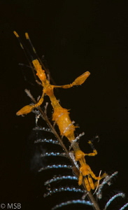 Yellow skeleton shrimp. by Mehmet Salih Bilal