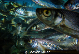 Just before the freeze. These minnows huddle at the inlet... by Steven Miller