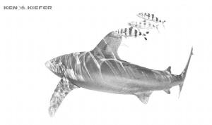 Oceanic Whitetip Shark endlessly exploring the ocean with... by Ken Kiefer