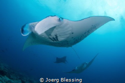 Manta female leads a mating train by Joerg Blessing