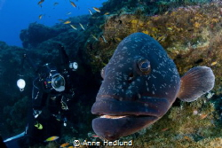 Friendly grouper by Anne Hedlund