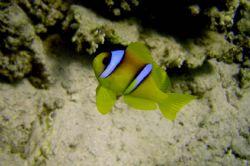 Anemone Fish by Ryan Stafford