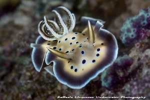 Goniobranchus tritos by Raffaele Livornese