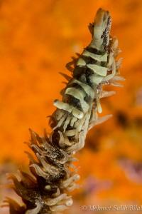 Wire coral shrimp. by Mehmet Salih Bilal