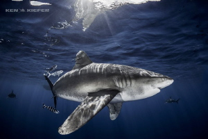 Oceanic Whitetip Shark curving through the water by Ken Kiefer