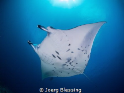 Manta ray at cleaning station by Joerg Blessing