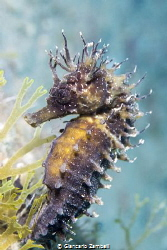 Sea Horse by Giancarlo Zambelli
