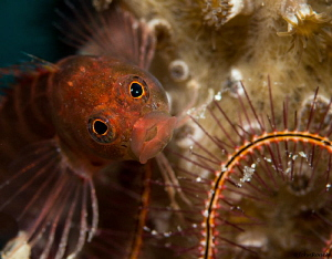 One of the many Blennys at Front Porch! Bonaire by John Roach