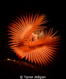 Snooted tube worm from Bodrum/Turkey. Just cropped the top. by Taner Atilgan