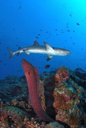 Kimbe Bay, Eel was coming out as the shark crept in. Not ... by Rand Mcmeins