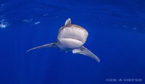Oceanic Whitetip near Cat Island, Bahamas by Ken Kiefer