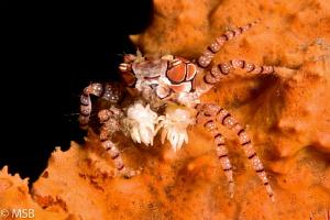 Boxer crab. by Mehmet Salih Bilal
