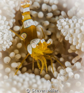 Pillow of polyps by Steven Miller