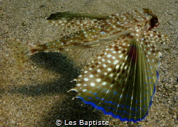 flying Gurnard by Les Baptiste
