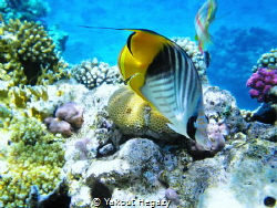 Threadfin butterflyfish.depth 1-35m by Yakout Hegazy