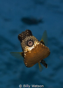 Kiss Please -- Smooth Trunkfish by Billy Watson
