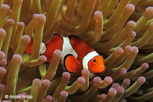 """Nemo alone at home?"" Nabucco Nunukan, Indonesia by Andre Philip"