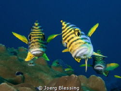 Oriental Sweetlips inspecting the camera by Joerg Blessing