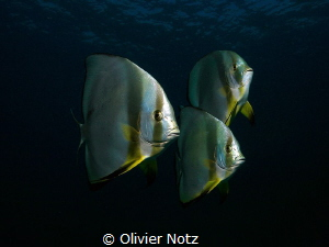 curious batfishes that followed us for at least 5 minutes by Olivier Notz