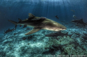 Lemon Shark anticipation and welcome at Tiger Beach Bahamas by Steven Anderson