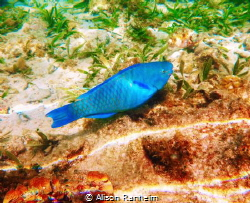 Parrotfish, Roatan by Alison Ranheim