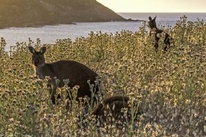 Kangaroo island by Mathieu Foulquié