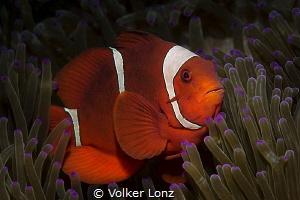 Anemonefish by Volker Lonz