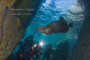 Sea Lion with divers by Alejandro Topete
