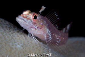 RedFin Triplefin Goby, Portrait by Marco Fierli