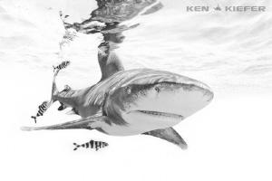 Oceanic Whitetip by Ken Kiefer