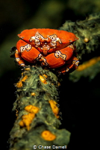 """""""Stand Strong""""  A Gaudy Clown Crab claims his sponge an... by Chase Darnell"""
