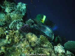 Broomtail wrasse & Sohal surgeonfish by Yakout Hegazy