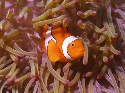 False Nemo. Great Barrier Reef by Joshua Miles
