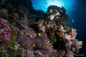Six / Clark's Anemone fish or yellow tailed clown fish. I... by James Deverich