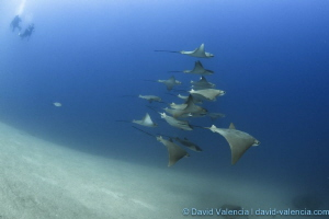 A rare sighting of cownose rays. These divers watched on ... by David Valencia