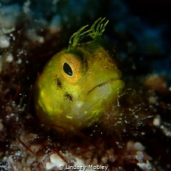 Yellow Blenny. Taken in Key Largo on Permit Ledges. by Lindsey Mobley