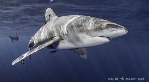 Close up of Oceanic Whitetip Shark by Ken Kiefer