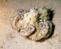 Angry octopus caught on a night dive at Mgarr Ix Xini on ... by Rob Spray