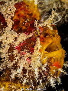Handsome Fella ... Frogfish - Antennarius sp. Chaloklum, ... by Stefan Follows
