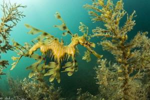 leafy sea dragon (Phycodurus eques), Kingscote, KI, SA by Mathieu Foulquié