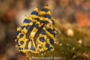 Costasiella sp. from Tulamben. by Mehmet Salih Bilal
