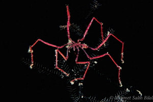 Spider crab in night dive. by Mehmet Salih Bilal