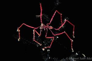 Spider crab in night dive. by Mehmet Salih Bilal