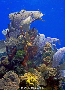 Sea fan off the Island of Utila by Chris Miskavitch