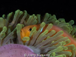 Maldives anemonefish by Joerg Blessing