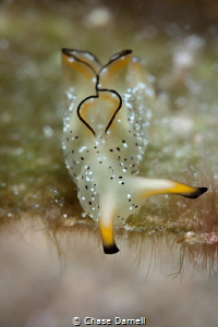 """""""On the Edge""""  Ornate Elysia Little Cayman! by Chase Darnell"""