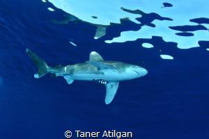 Oceanic White Tip by Taner Atilgan