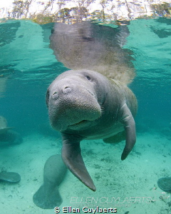 Manatee time by Ellen Cuylaerts