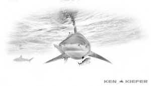 Oceanic Whitetip Shark Black and White by Ken Kiefer