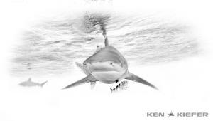 Oceanic Whitetip Shark Black and White by Ken Kiefer